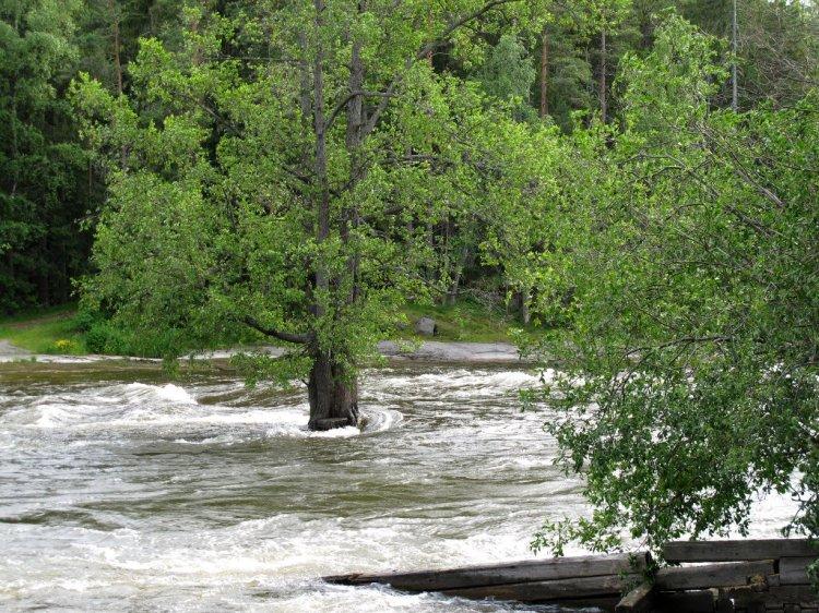 Дерево растет посреди бурной реки