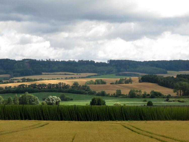 Так выращивают хмель в Крушовице