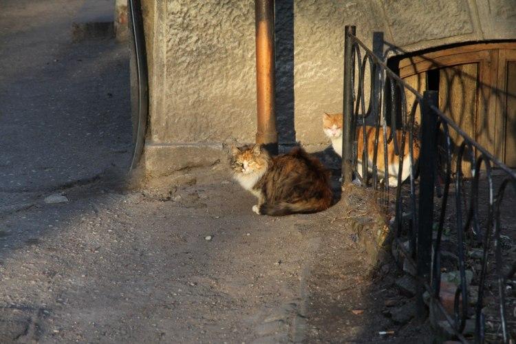 Котики Черняховска