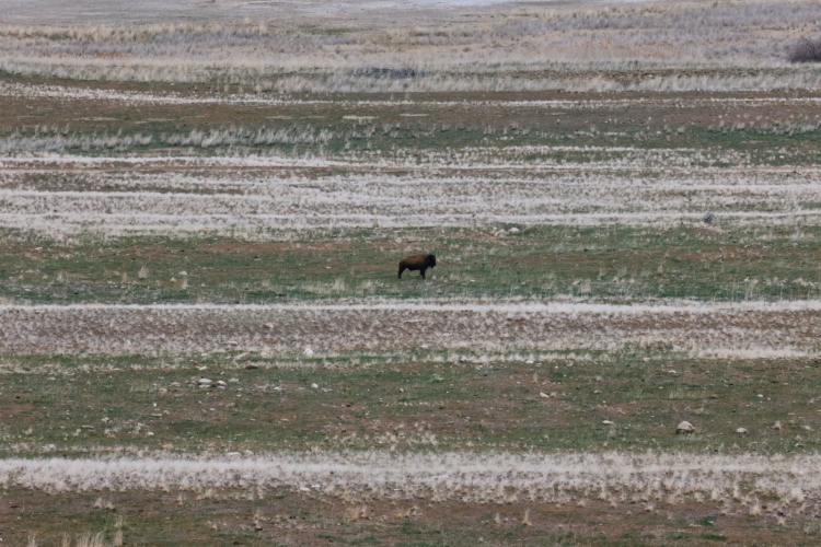 Lonely bison